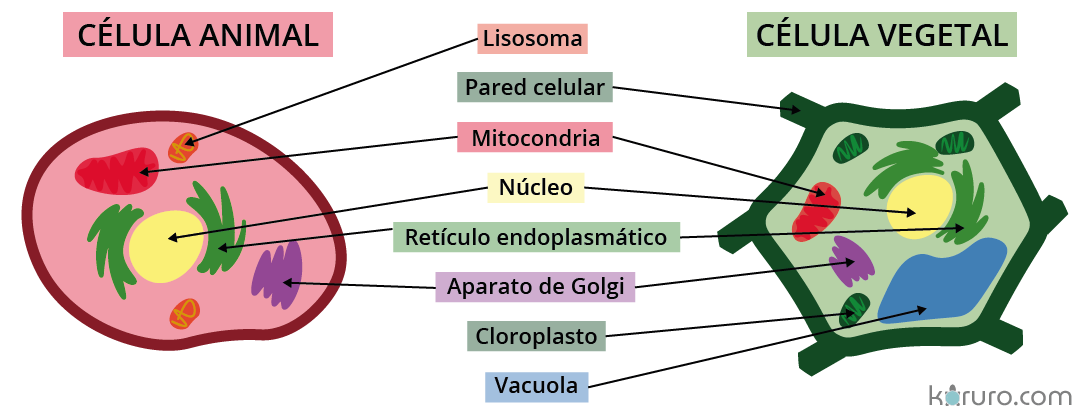 partes de las células eucariotas